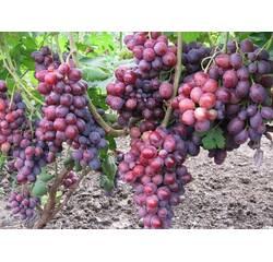 Живці винограду Зоря Несвета