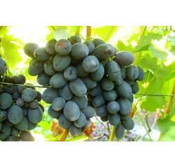 Живці винограду Руслан