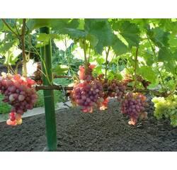 Черенки винограда Лада-Т