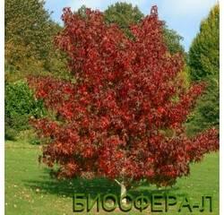 Ліквідамбар молоносний або амброве дерево (Liquidambar Styraciflua)