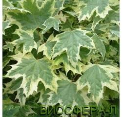 Клен гостролистий Друммонді (Acer platanoides Drummondii)