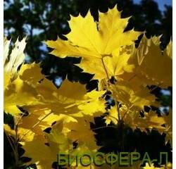 Клен гостролистий Принцетон Голд (Acer platanoides Princeton Gold)
