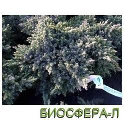 Можжевельник чешуйчатый Juniperus Squamata Blustar