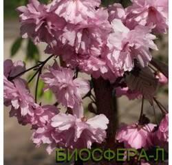 Слива мелкопильчатая «Роял Бургунд» (сакура) Prunusserrulata Royal Burgundy
