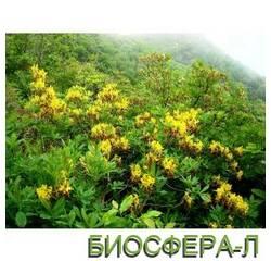 Рододендрон Rhododéndron