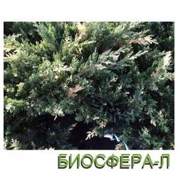 """Можжевельник китайский """"Экспанса Вариегата"""" (Juniperus Expansa Variegata)"""