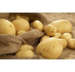 Картопля Пікасо 1 репрудукція сітка.