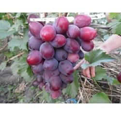 Саджанці винограду Еверест, купити в Україні