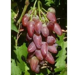Саженцы винограда Дубовский, купить в Украине