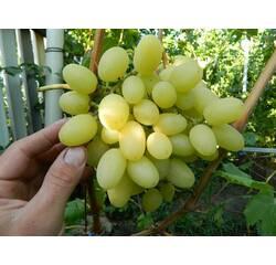 Черенки винограда Ландыш, купить