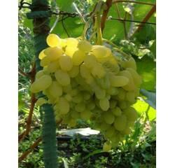 Саджанці винограду Геліодор