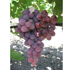 Саженцы винограда Лада-Т, купить