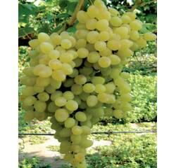 Саженцы винограда Володар, купить недорого