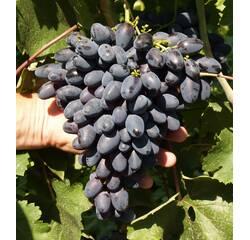 Саженцы винограда Атос, купить недорого