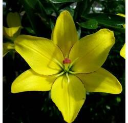Лилия Yellow Cocotte
