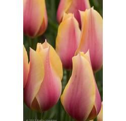 Цибулини тюльпана Blushing Lady
