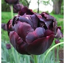 Луковицы тюльпана Black Hero