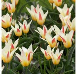 Цибулини тюльпана Johan Strauss