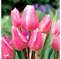 Цибулини тюльпана Happy Family