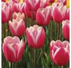 . Цибулини тюльпана Jumbo Beauty