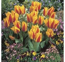 Цибулини тюльпана First Love