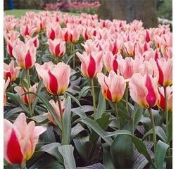 Цибулини тюльпана Mary Ann