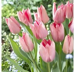 Цибулини тюльпана Poco Loco