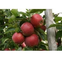 Яблука сорту Ред Джонапринц