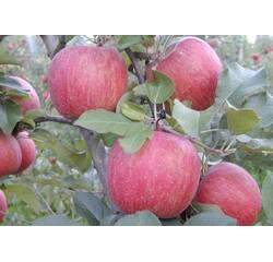 Яблука сорту Фуджі
