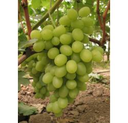 Саженцы винограда Катруся купить в Украине