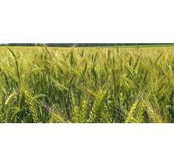 Насіння озимої пшениці Ліра Одеська (Перша репродукція)
