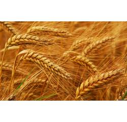 Насіння озимої пшениці Смуглянка (Перша репродукція)