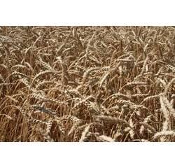 Насіння озимої пшениці Наснага (Перша репродукція)