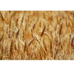 Насіння пшениці Городниця (Супереліта)