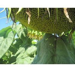 Семена подсолнечника Лейла купить в Украине