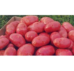 Картопля Инфініті 3 кг сітка