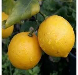Саджанці лимона  Київський Великоплідний