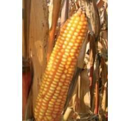 Насіння кукурудзи ПР39Г12