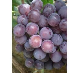 """Саджанець винограду """"Рошфор"""""""
