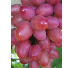 """Саджанець винограду """"Софія"""""""