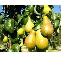 Саджанці груші Бере Бокс
