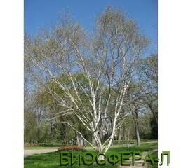 Береза полезная Жакмона Дооренбос (Betula utilis var. Jacquemontii)