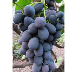 """Саджанці винограду """"Гала"""""""