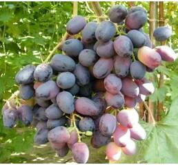 """Саджанці винограду """"Оріон"""""""