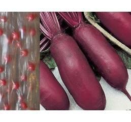 Дражированные семена на ленте Свекла Ренова