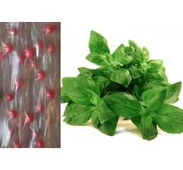 Дражированные семена на ленте Базилик зеленый Рутан