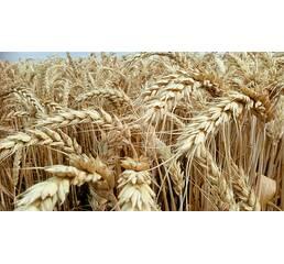 Насіння пшениці Астарта (Супереліта)
