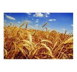 Насіння пшениці Фаворитка (Еліта)