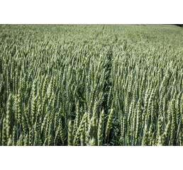 Насіння пшениці Коляда (Супереліта)