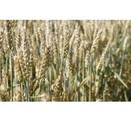 Насіння пшениці Новосмуглянка (Еліта)